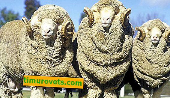 Kakve je prirodne boje vunenih vlakana?